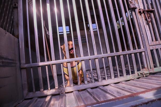 Sau khi bị bắt chú chó hơi sợ nhưng không bị thương.