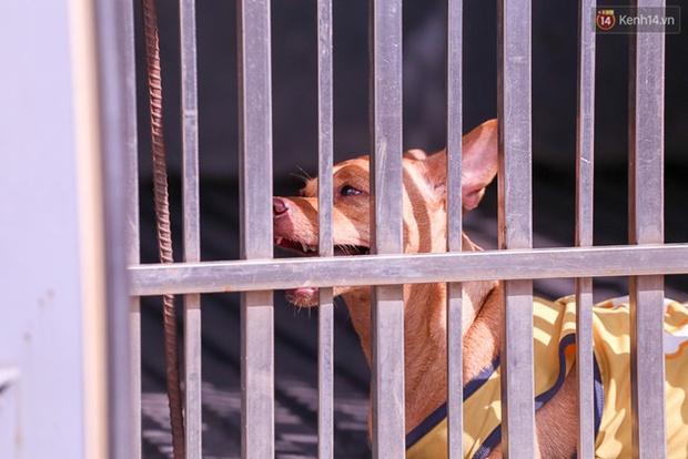 """Clip: Tiếp tục ra quân bắt chó thả rông ở Sài Gòn, nhiều chó nhà bị Đội săn bắt """"tóm"""" khiến chủ ngơ ngác - Ảnh 9."""