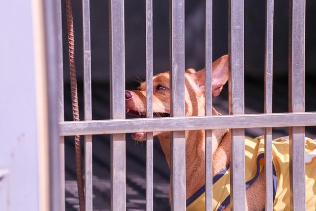 Chú chó bị mệt sau khi bị tóm bằng thòng lọng.