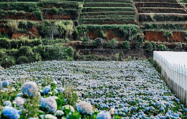 Cánh đồng hoa cẩm tú cầu đẹp mê hồn sẽ là điểm đến hot nhất ở Đà Lạt những ngày tới! - Ảnh 7.