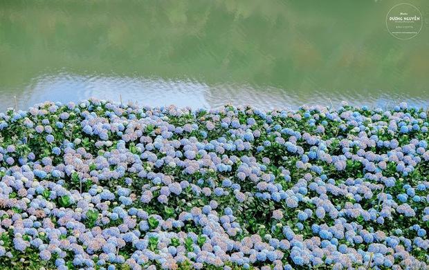 Cánh đồng hoa cẩm tú cầu đẹp mê hồn sẽ là điểm đến hot nhất ở Đà Lạt những ngày tới! - Ảnh 2.
