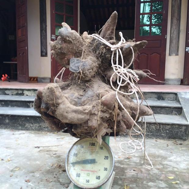 Xôn xao củ khoai vạc rồng khủng nặng 73kg ở Nghệ An - Ảnh 1.
