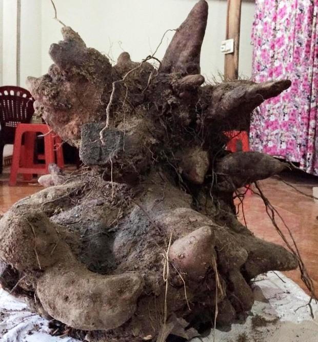 Xôn xao củ khoai vạc rồng khủng nặng 73kg ở Nghệ An - Ảnh 4.