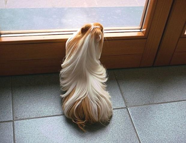 Ngắm 10 bé chuột lang sở hữu mái tóc mượt mà như quảng cáo dầu gội - Ảnh 1.