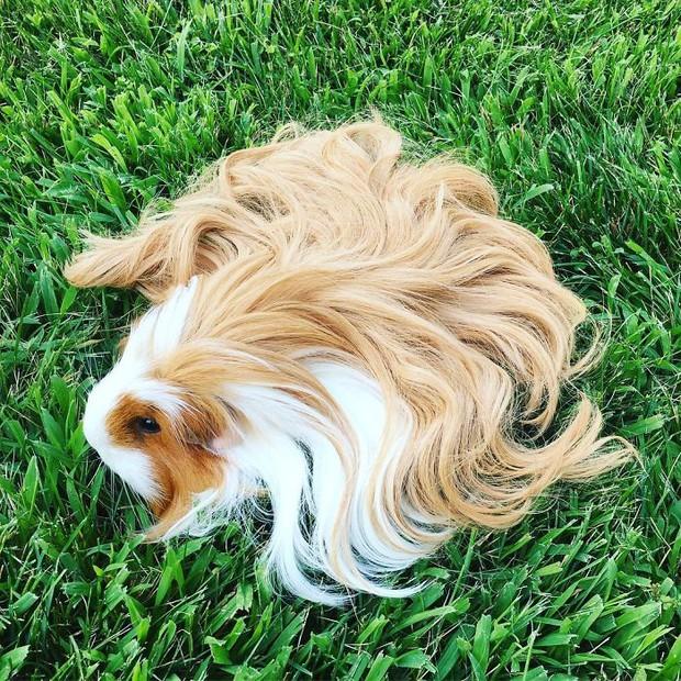 Ngắm 10 bé chuột lang sở hữu mái tóc mượt mà như quảng cáo dầu gội - Ảnh 9.