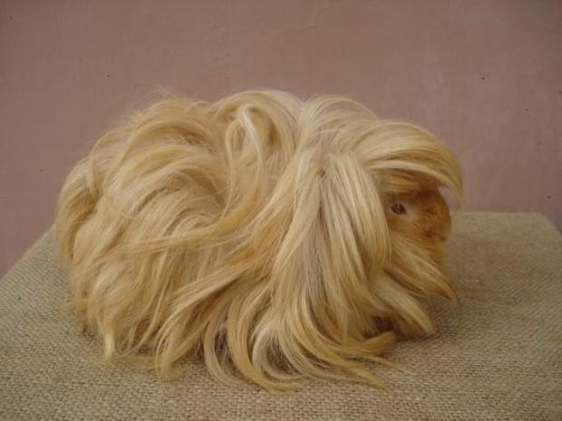 Ngắm 10 bé chuột lang sở hữu mái tóc mượt mà như quảng cáo dầu gội - Ảnh 3.