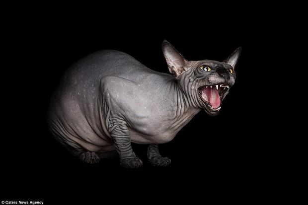 Ngắm những chú mèo trụi lông đẹp lạ qua ống kính nữ nhiếp ảnh gia Tây Ban Nha - Ảnh 1.