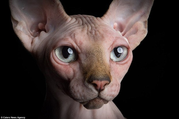 Ngắm những chú mèo trụi lông đẹp lạ qua ống kính nữ nhiếp ảnh gia Tây Ban Nha - Ảnh 13.