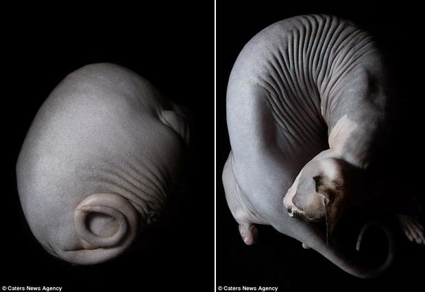 Ngắm những chú mèo trụi lông đẹp lạ qua ống kính nữ nhiếp ảnh gia Tây Ban Nha - Ảnh 7.