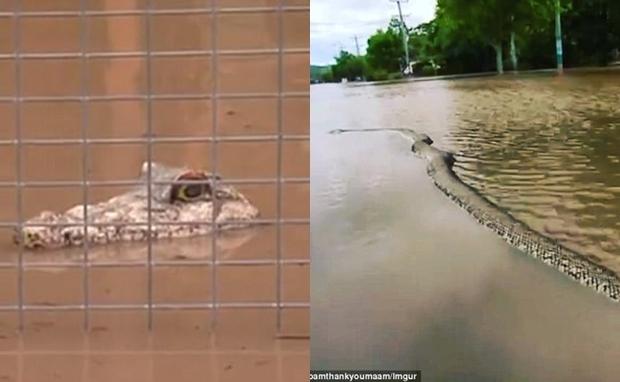 Nhìn qua tưởng cá sấu đi dạo trong lũ tại Úc nhưng sự thật thì chẳng ai ngờ - Ảnh 1.