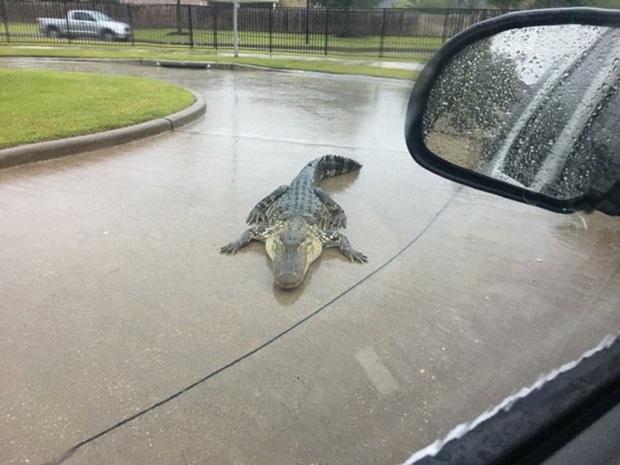 Mỹ: Cá sấu đi tránh bão Harvey - Ảnh 1.