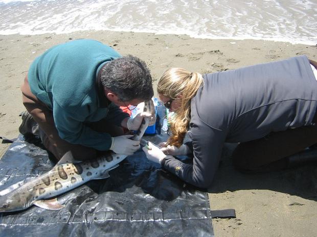 Sau 2000 con cá mập chết vì bị ăn não, đến lượt hàng trăm con chết vì lý do không ngờ - Ảnh 2.