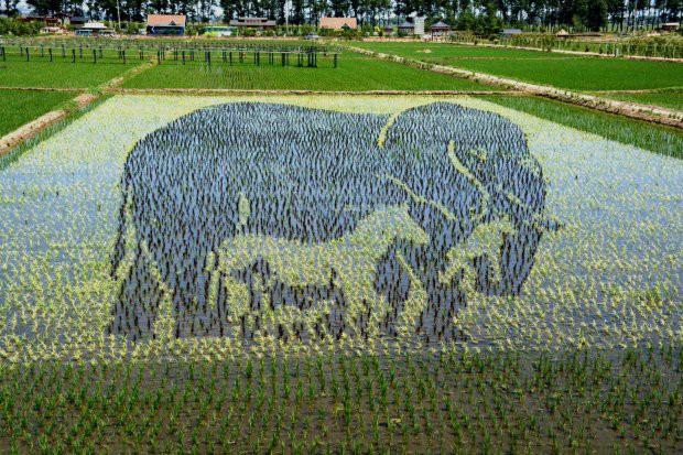 Những bức tranh 3D tuyệt đẹp được vẽ trên đồng lúa của nông dân Trung Quốc - Ảnh 1.