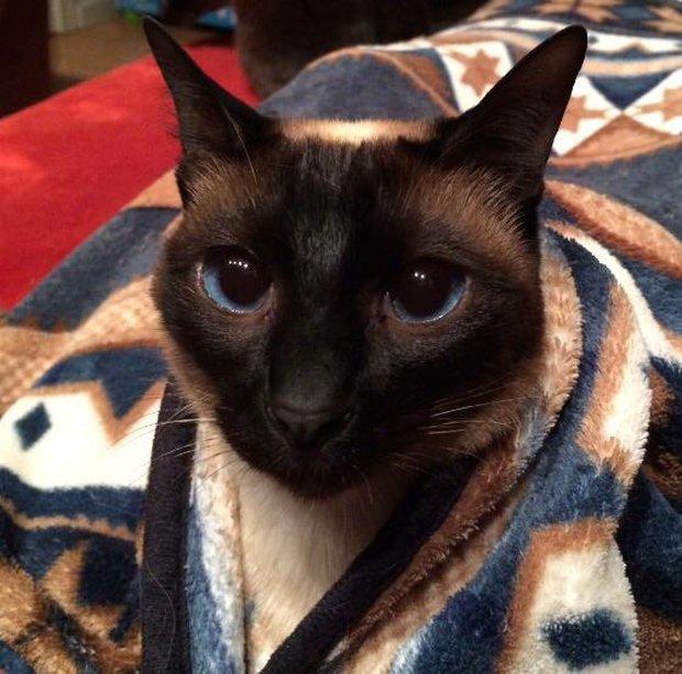 Chân dung 15 boss mèo lười nhác chỉ thích nằm cuộn tròn trong chăn - Ảnh 11.