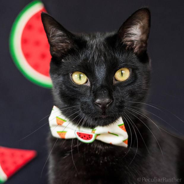 15 chú mèo bảnh trai ăn diện nhất trong ngày quốc tế mèo - Ảnh 17.