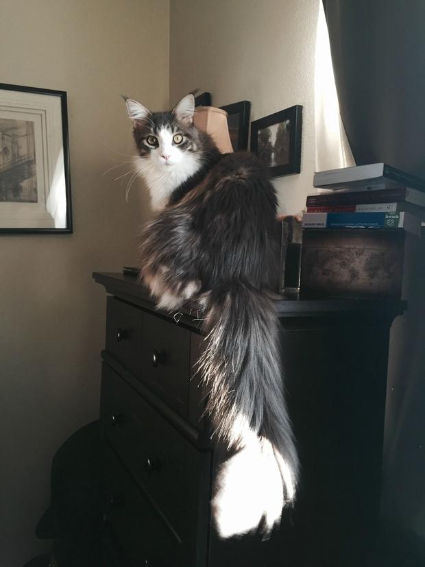 Chân dung 17 con mèo to xác khiến con người cũng phát hoảng - Ảnh 13.