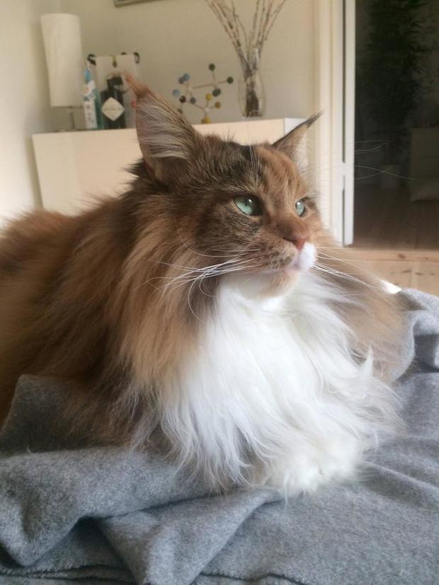 Chân dung 17 con mèo to xác khiến con người cũng phát hoảng - Ảnh 11.