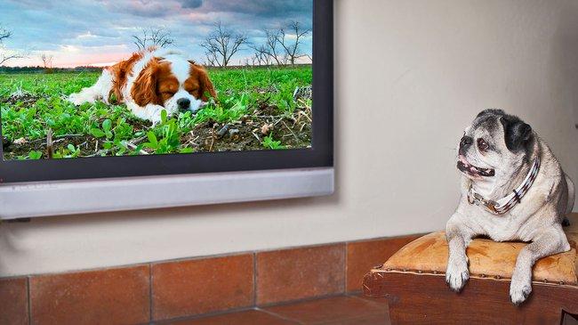 Chó nhà bạn thấy những gì khi ngồi xem TV? - Ảnh 2.
