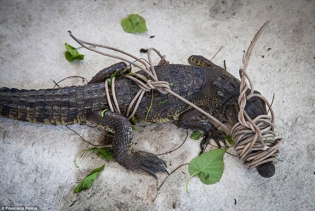 Đằng sau những đôi giày da thời thượng là cả một quá trình lột da cá sấu sống rùng rợn - Ảnh 6.