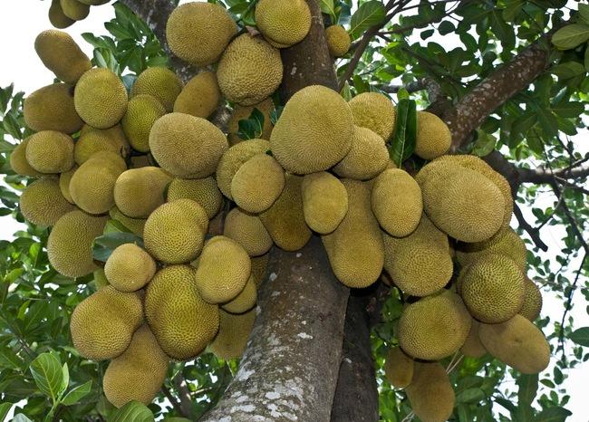 Việt Nam Đang sở hữu một loại quả Được mệnh danh là