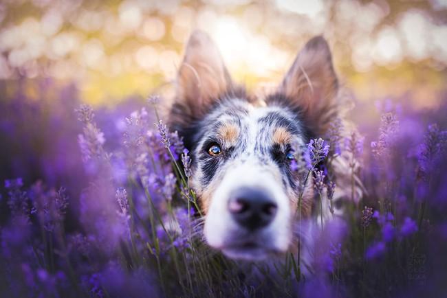 Cuộc dạo chơi giữa cánh đồng oải hương mộng mơ của những em chó mặt xinh - Ảnh 1.