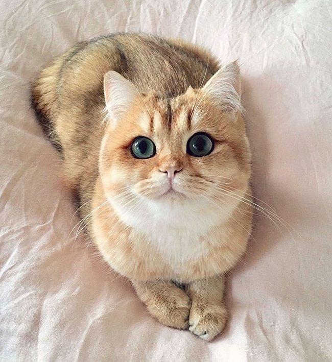 Gặp gỡ 16 mỹ nhân đẹp nhất vương quốc mèo - Ảnh 9.