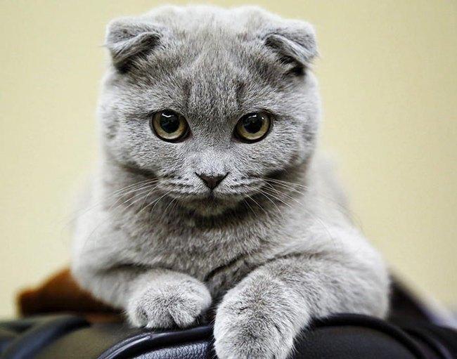 Gặp gỡ 16 mỹ nhân đẹp nhất vương quốc mèo - Ảnh 11.