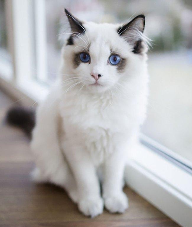 Gặp gỡ 16 mỹ nhân đẹp nhất vương quốc mèo - Ảnh 15.