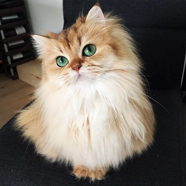 Gặp gỡ 16 mỹ nhân đẹp nhất vương quốc mèo - Ảnh 17.