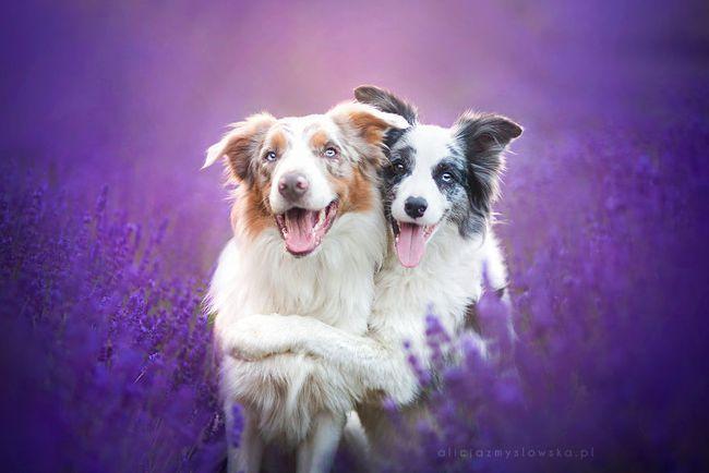 Cuộc dạo chơi giữa cánh đồng oải hương mộng mơ của những em chó mặt xinh - Ảnh 9.