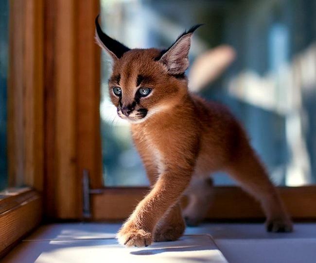 Gặp gỡ 16 mỹ nhân đẹp nhất vương quốc mèo - Ảnh 23.