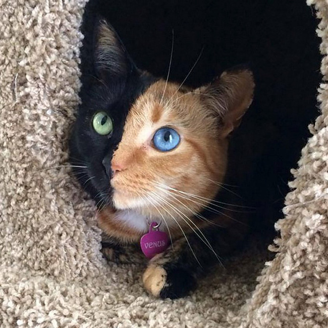 Gặp gỡ 16 mỹ nhân đẹp nhất vương quốc mèo - Ảnh 27.