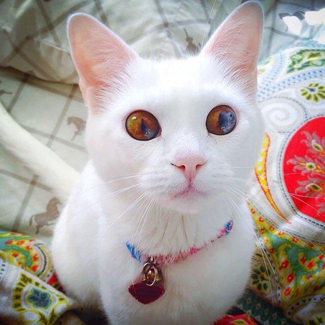 Gặp gỡ 16 mỹ nhân đẹp nhất vương quốc mèo - Ảnh 29.
