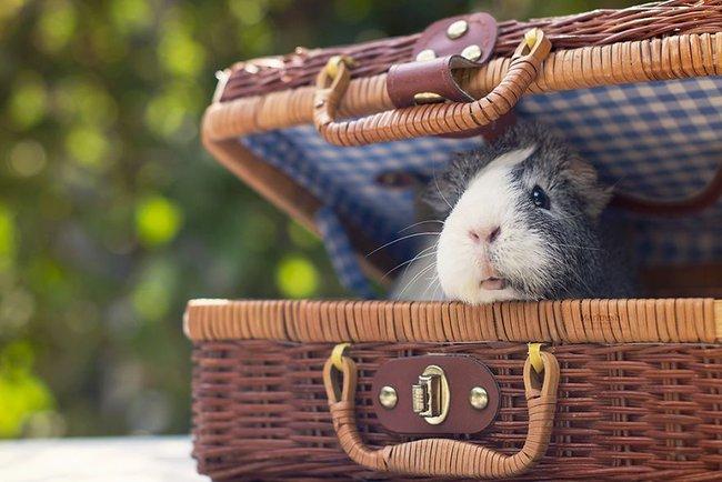 Loài chuột thật đáng ghét nhưng bé chuột lang béo núc ních thì không - Ảnh 11.