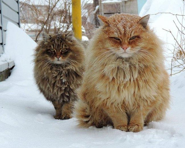 Gặp gỡ 16 mỹ nhân đẹp nhất vương quốc mèo - Ảnh 31.