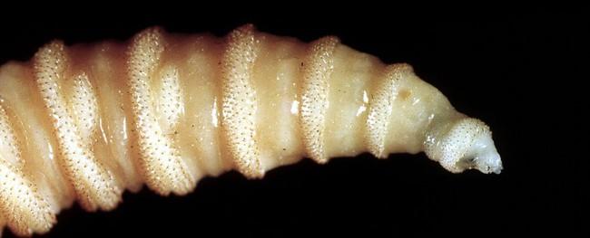 Tưởng Đã biến mất nhưng loài ký sinh trùng