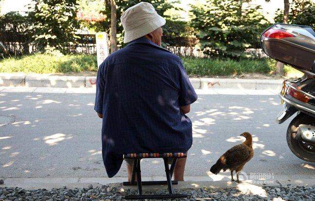 Tình bạn gắn bó giữa ông lão và gà con mồ côi - Ảnh 3.
