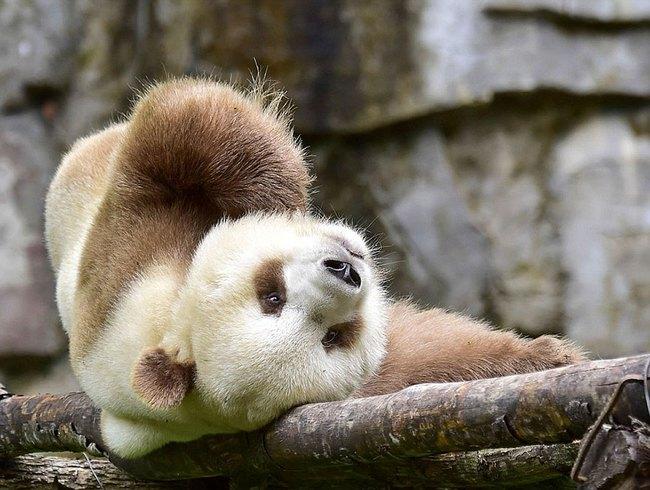 Chú gấu trúc đã dễ thương lại còn sở hữu bộ lông nâu duy nhất trên thế giới - Ảnh 1.