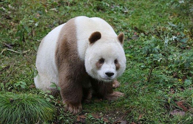 Chú gấu trúc đã dễ thương lại còn sở hữu bộ lông nâu duy nhất trên thế giới - Ảnh 2.