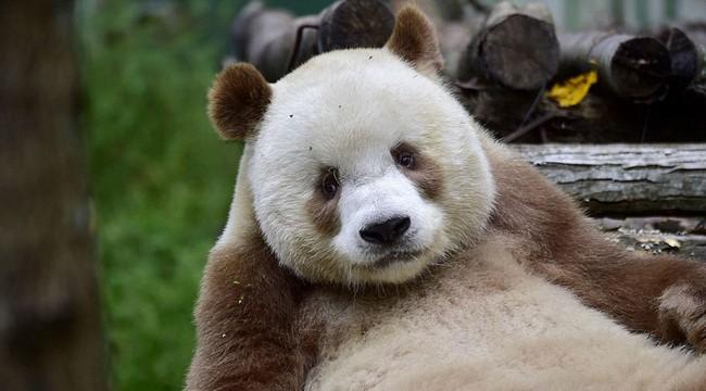 Chú gấu trúc đã dễ thương lại còn sở hữu bộ lông nâu duy nhất trên thế giới - Ảnh 3.