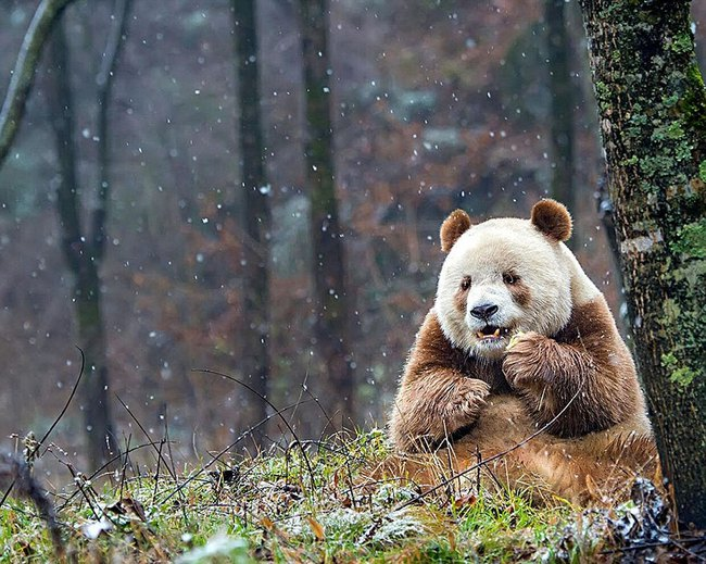 Chú gấu trúc đã dễ thương lại còn sở hữu bộ lông nâu duy nhất trên thế giới - Ảnh 4.