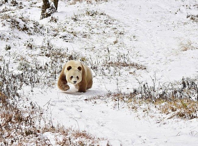 Chú gấu trúc đã dễ thương lại còn sở hữu bộ lông nâu duy nhất trên thế giới - Ảnh 5.