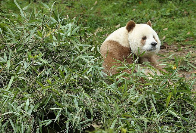Chú gấu trúc đã dễ thương lại còn sở hữu bộ lông nâu duy nhất trên thế giới - Ảnh 6.