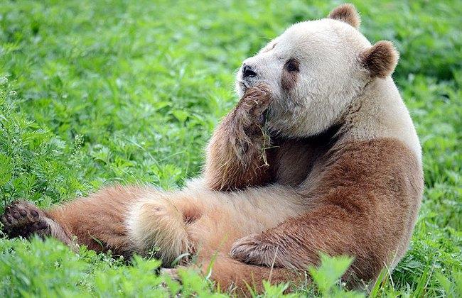 Chú gấu trúc đã dễ thương lại còn sở hữu bộ lông nâu duy nhất trên thế giới - Ảnh 7.