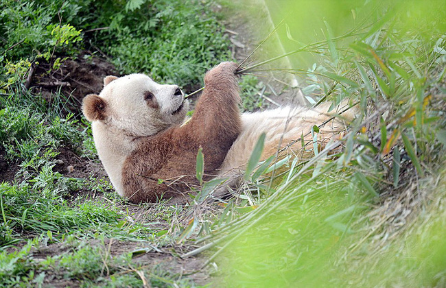 Chú gấu trúc đã dễ thương lại còn sở hữu bộ lông nâu duy nhất trên thế giới - Ảnh 8.