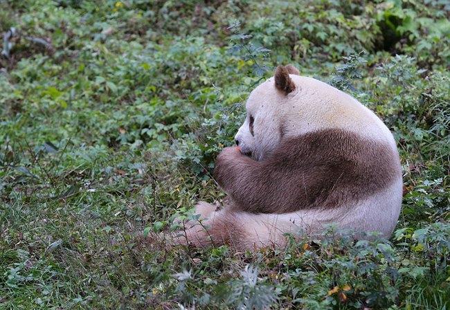 Chú gấu trúc đã dễ thương lại còn sở hữu bộ lông nâu duy nhất trên thế giới - Ảnh 9.
