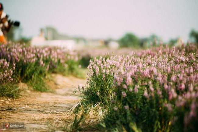 Một cánh đồng hoa bao la với bầy cừu xinh xắn, ở Hà Nội cũng có rồi đấy! - Ảnh 7.