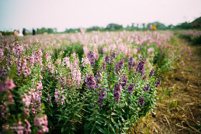 Một cánh đồng hoa bao la với bầy cừu xinh xắn, ở Hà Nội cũng có rồi đấy! - Ảnh 14.