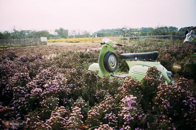 Một cánh đồng hoa bao la với bầy cừu xinh xắn, ở Hà Nội cũng có rồi đấy! - Ảnh 6.