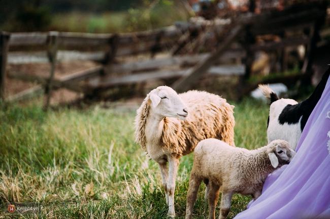 Một cánh đồng hoa bao la với bầy cừu xinh xắn, ở Hà Nội cũng có rồi đấy! - Ảnh 5.